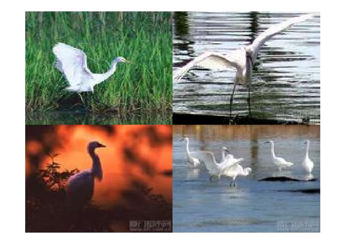 主要觅食小鱼类,哺乳动物,爬行动物,两栖动物和浅水中的甲壳类动物.