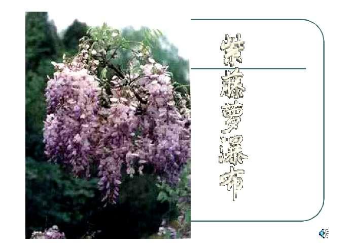 紫藤萝瀑布ppt