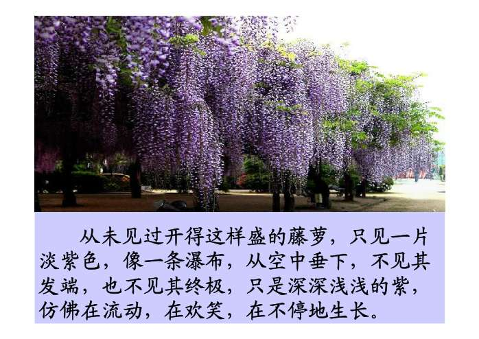 紫藤萝瀑布 ppt